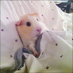 Tucked in hamster